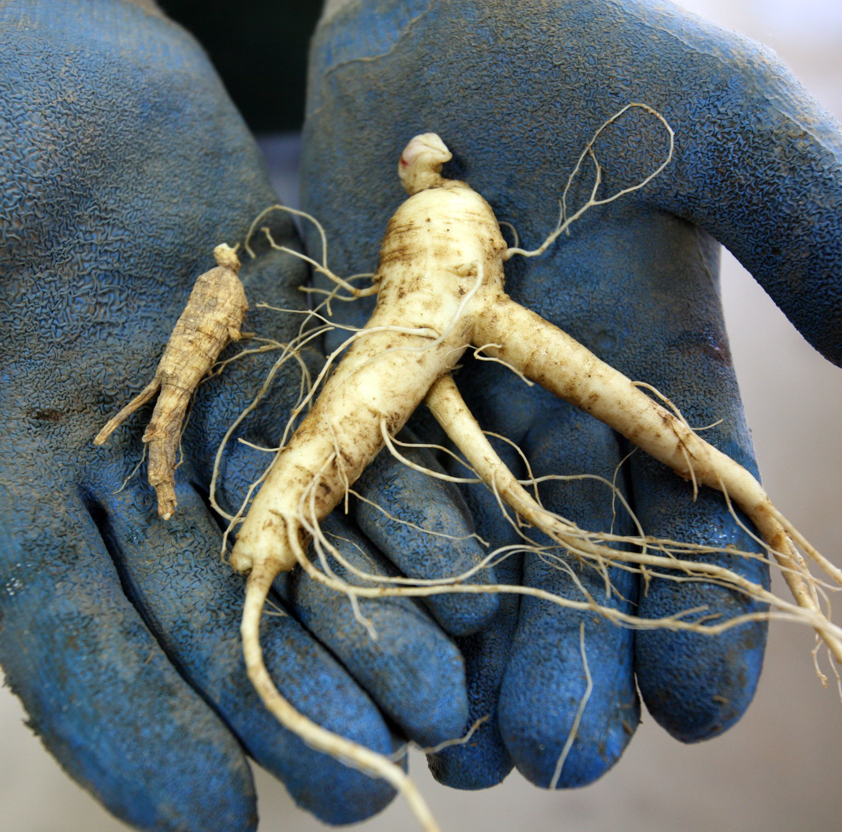 Yodel, dig ginseng, stomp grapes, and more to do around Wisconsin this week