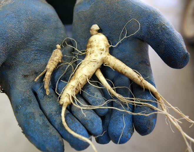 Get in touch with a popular root during Wausau's International Wisconsin Ginseng Festival Sept. 14-16.