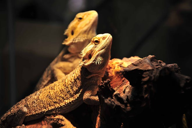 The bearded dragon was featured at the Reptile Rally that was held inside PETCO in Kinnelon on Saturday, July 17, 2010.
