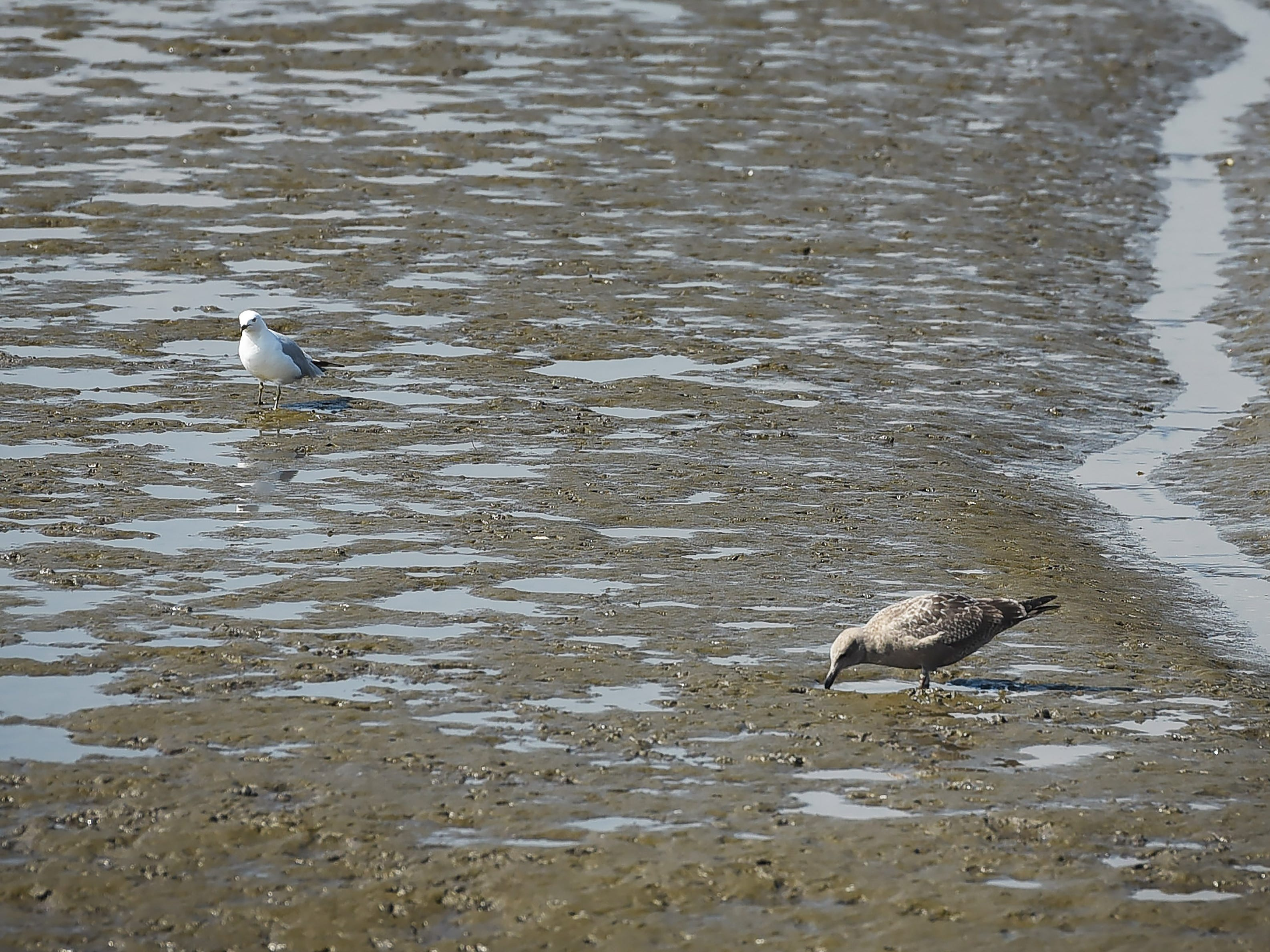 Birds look for food in the mud at the Saw Mill Creek area at Dekorte Park of the Meadowlands Environment Center in Lyndhurst on 09/05/18.