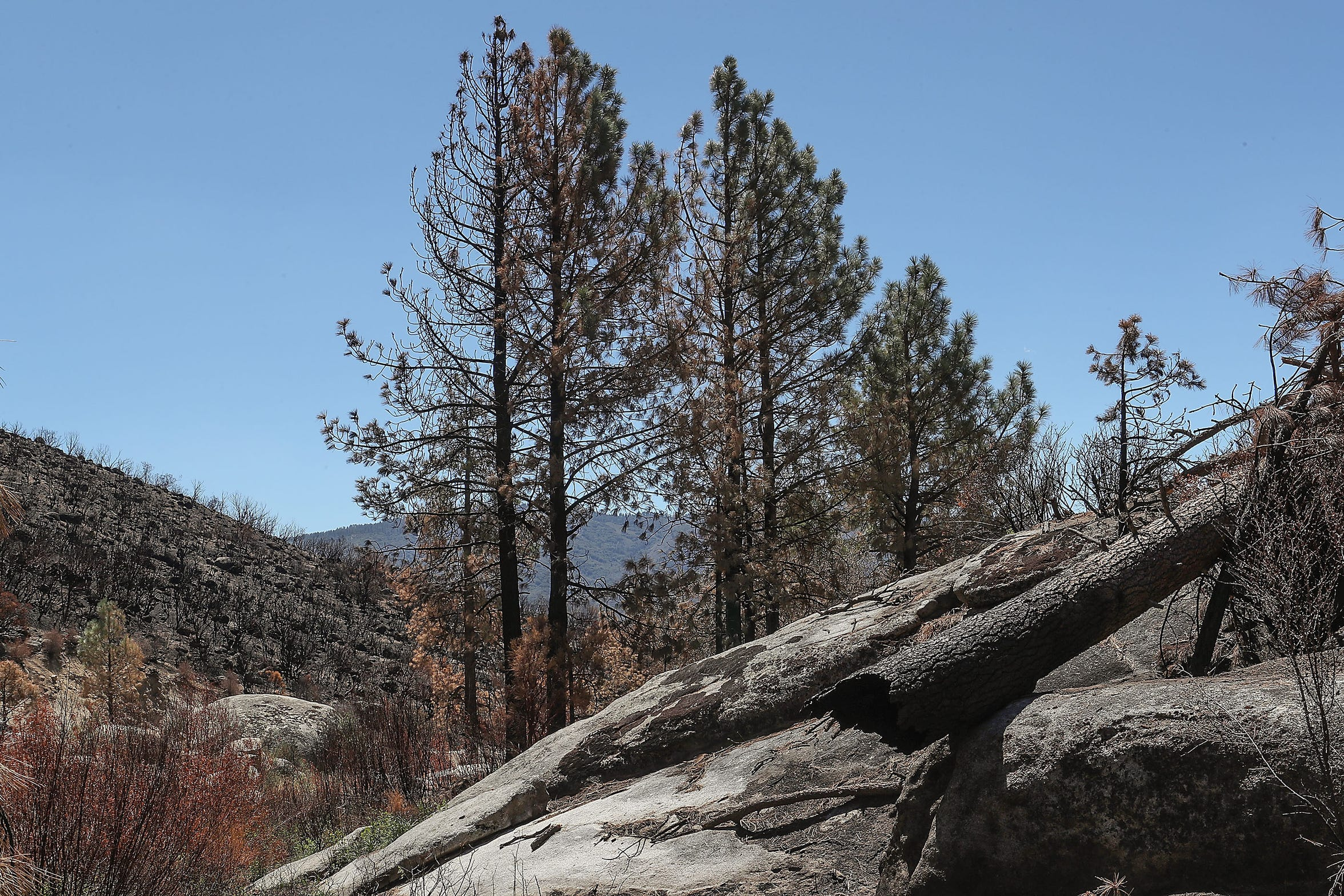 This patch of conifers was damaged in a heavily-burned area of the Cranston Fire in the San Jacinto Wilderness.