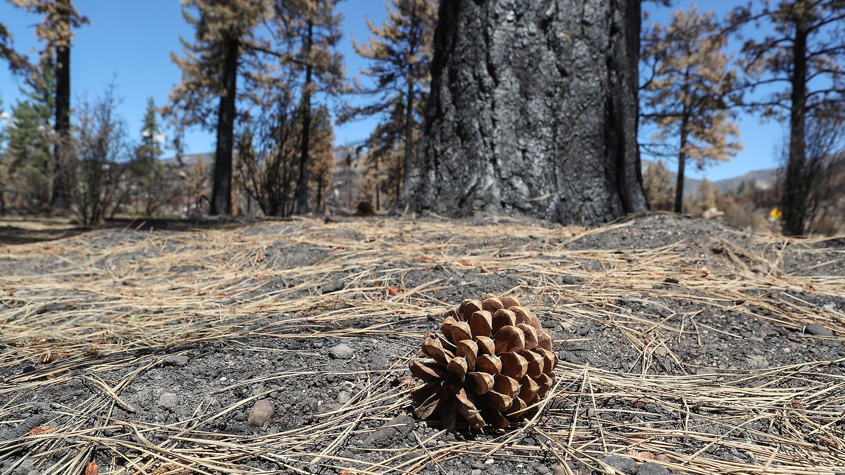 A conifer cone sits among needles from conifers that were damaged in the Cranston fire in the San Jacinto Wilderness, September 4, 2018.