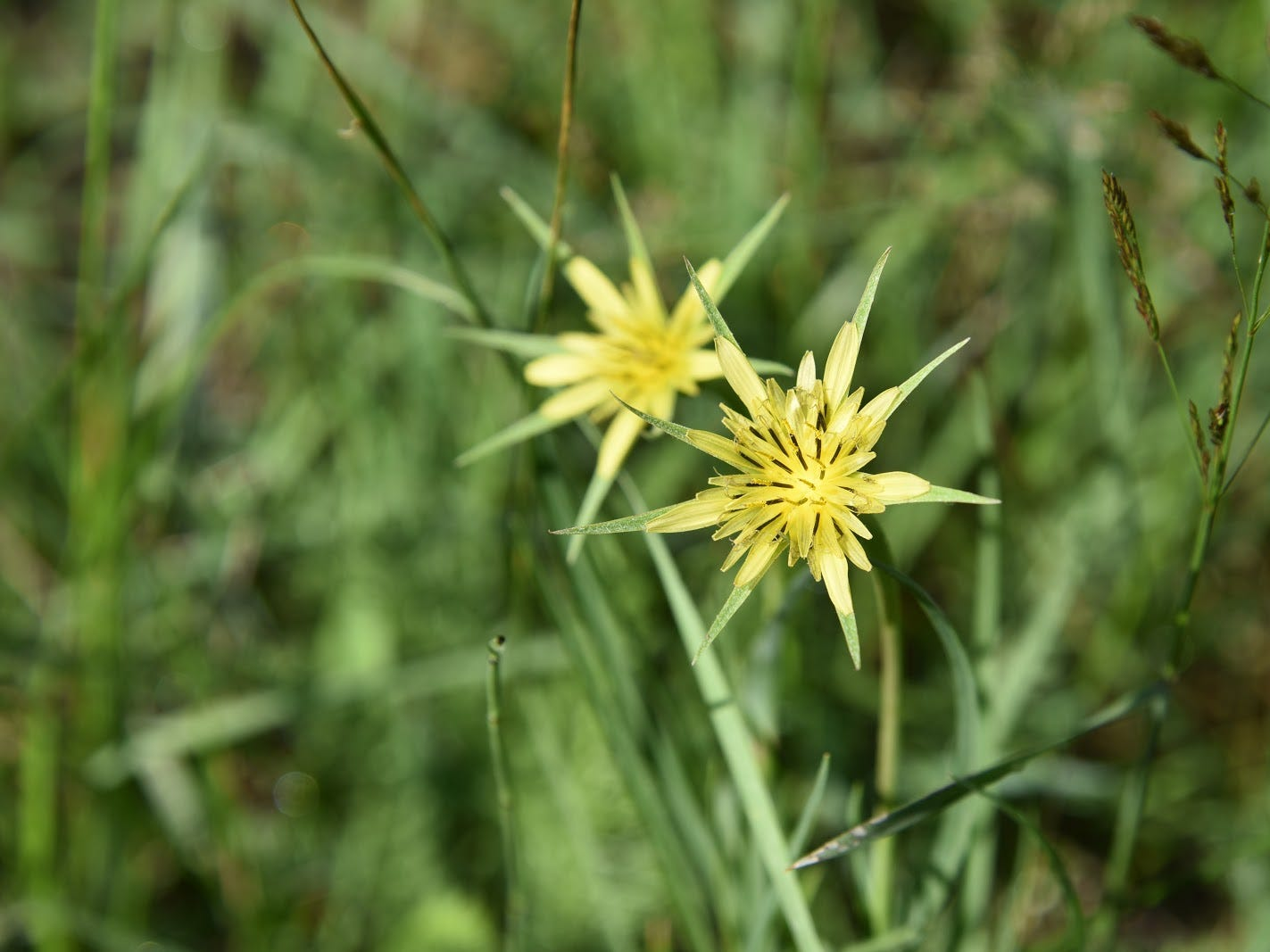 Yellow salsify (silver puffs) are common meadow bloomers.