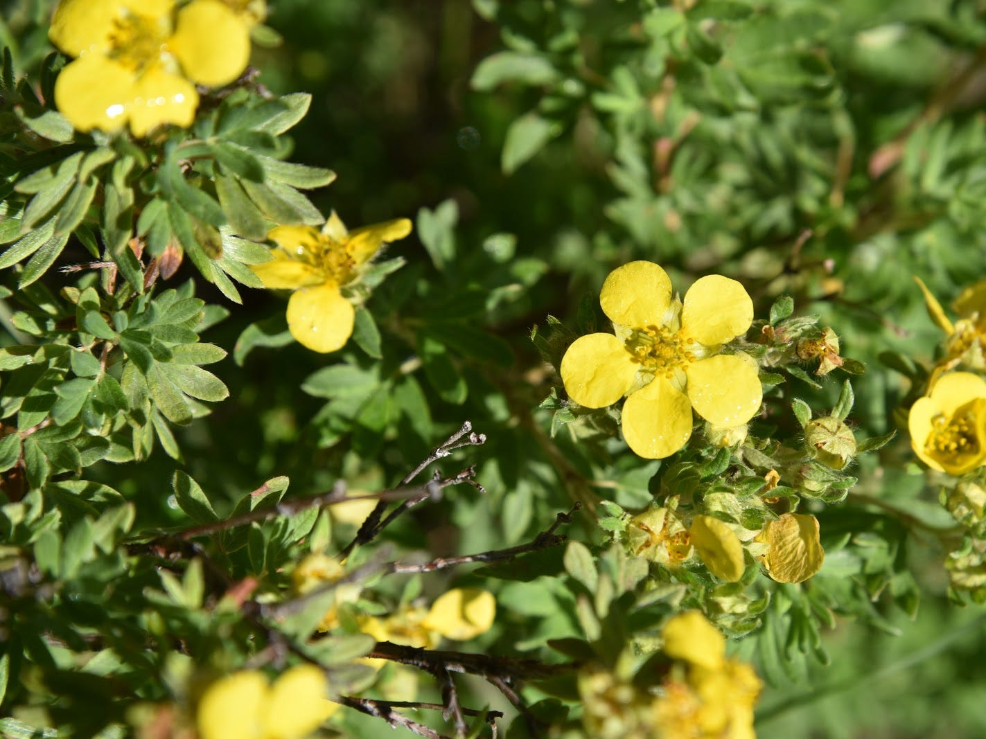 Shrubby cinquefoil grows near marshes.