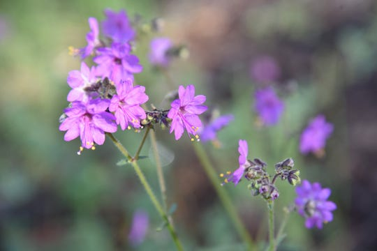 Four o'clock flowers are plentiful in summer.