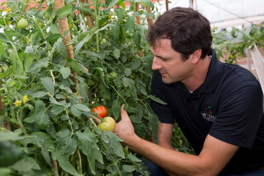 Sam Hutton, an associate professor of horticultural sciences at the UF Institute of Food and Agricultural Sciences, will use a new $490,000 federal grant from to help tomatoes thwart Fusarium wilt.