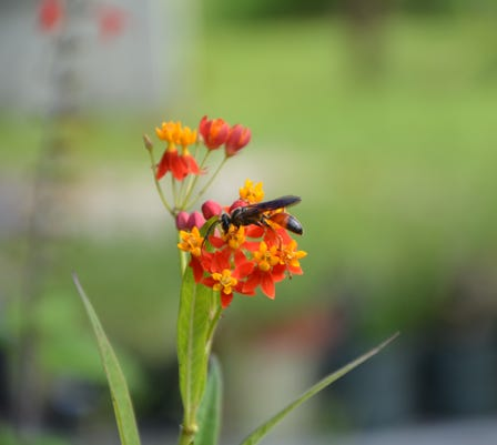 Milkweed Bloom Td 9 7 18
