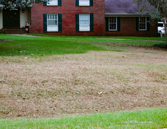 Tropical sod webworm damage can occur quickly in the lawn this time of year.
