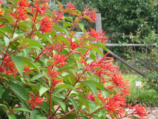 Everyone who has a little space in full sun needs a firebush. It is colorful all summer and fall and attracts butterflies and hummingbirds.