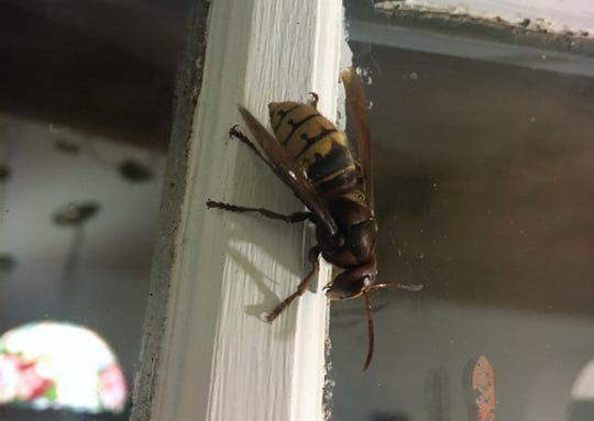 European hornets were introduced to the United States more than a century ago, and continue terrifying everyone who crosses their path.