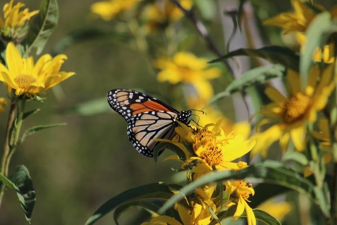 Monarch butterfly on Maximillian sunflower