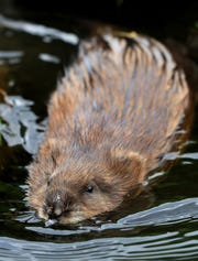 A juvenile beaver