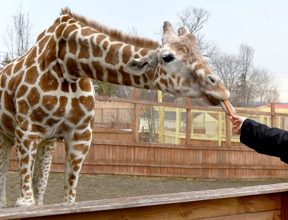 Tajiri, the giraffe born to April and Oliver in April 2017, celebrated his first birthday April 15, 2018, at Animal Adventure Park in Harpursville, New York. Tajirii will be moving to a facility outside of Raleigh, North Carolina, in October 2018.