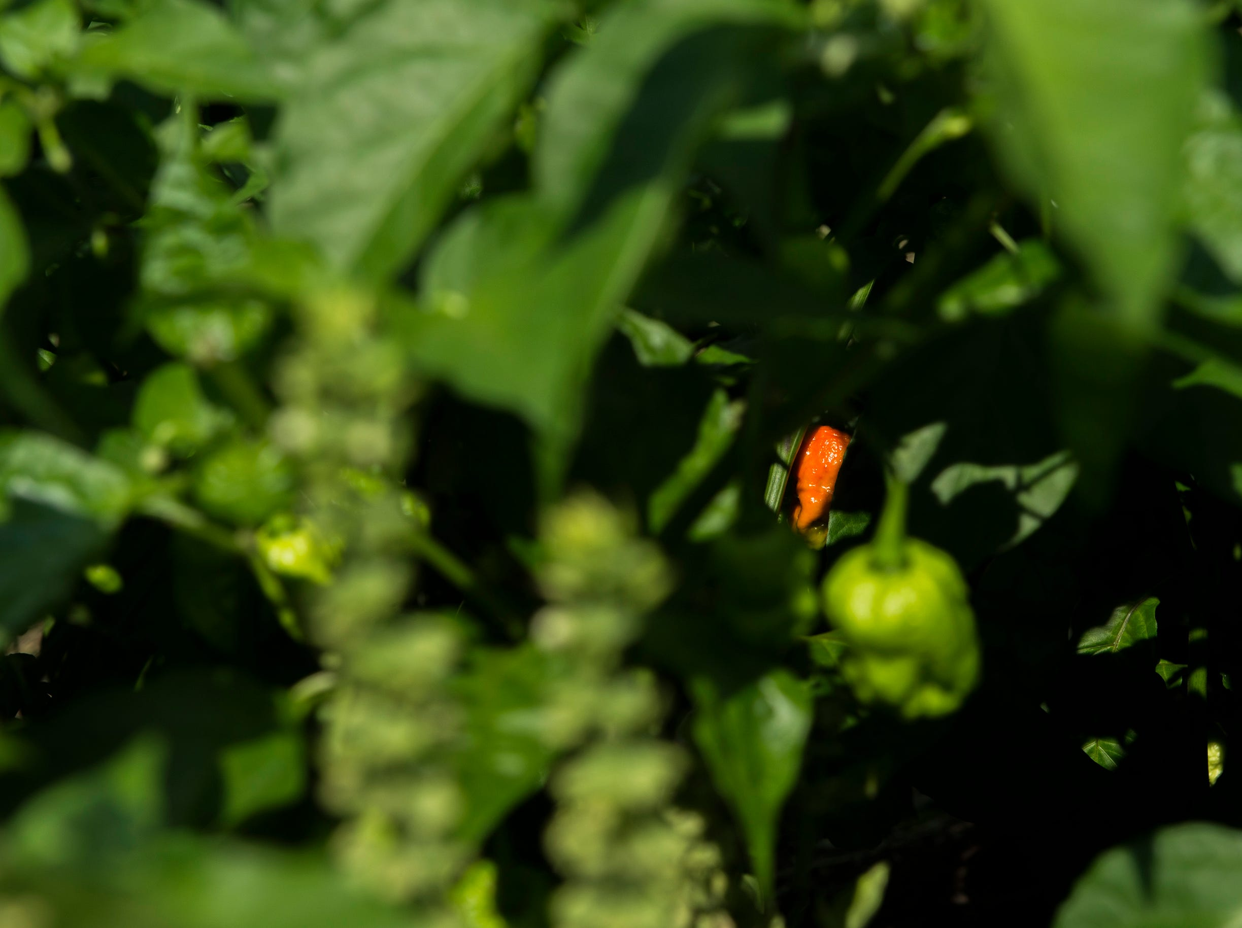 A bright orange habanero pepper grows at Free Haven Farms Thursday, Aug. 23, 2018 in Lawnside, N.J.