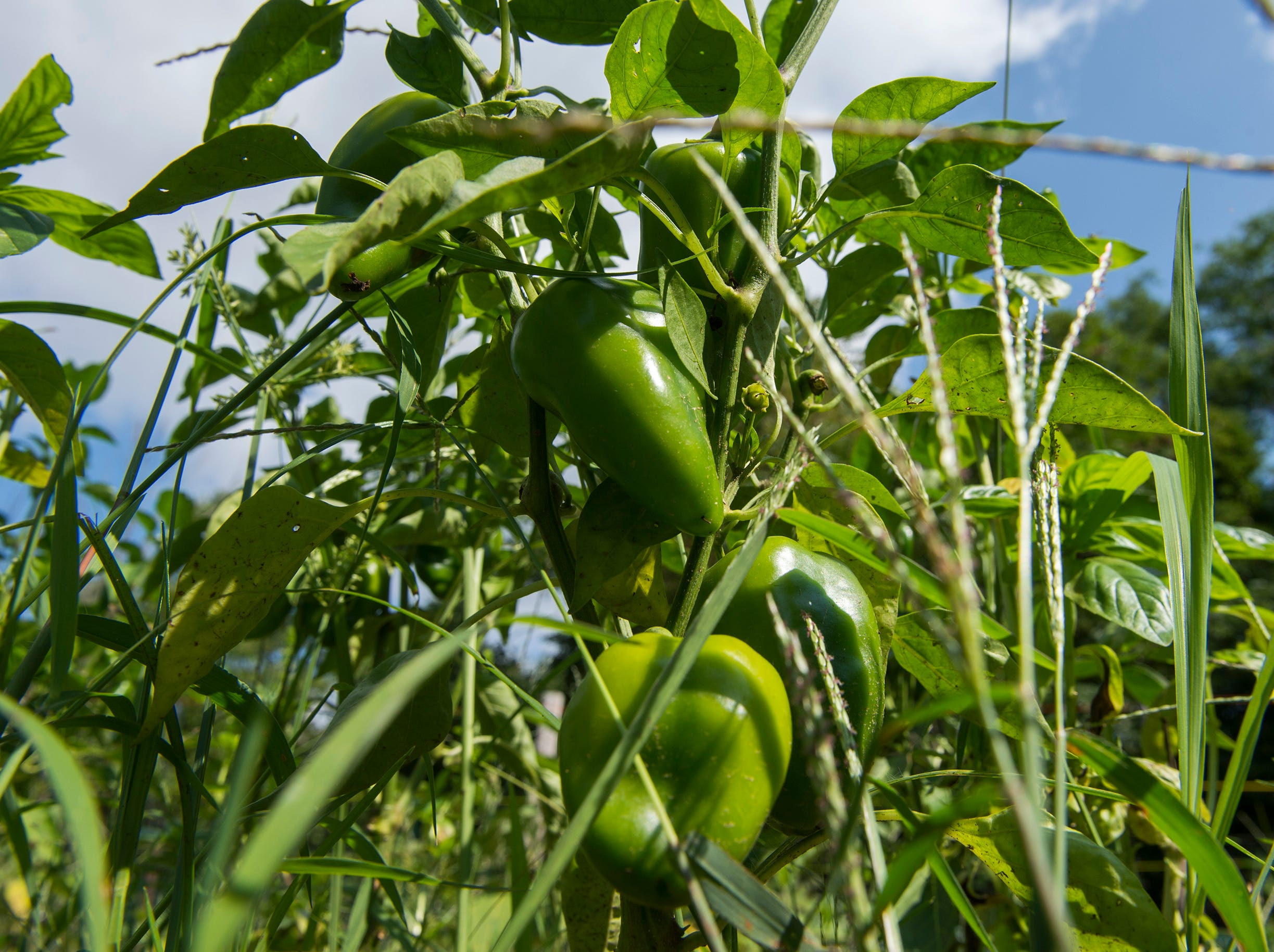 Peppers grow at Free Haven Farms Thursday, Aug. 23, 2018 in Lawnside, N.J.