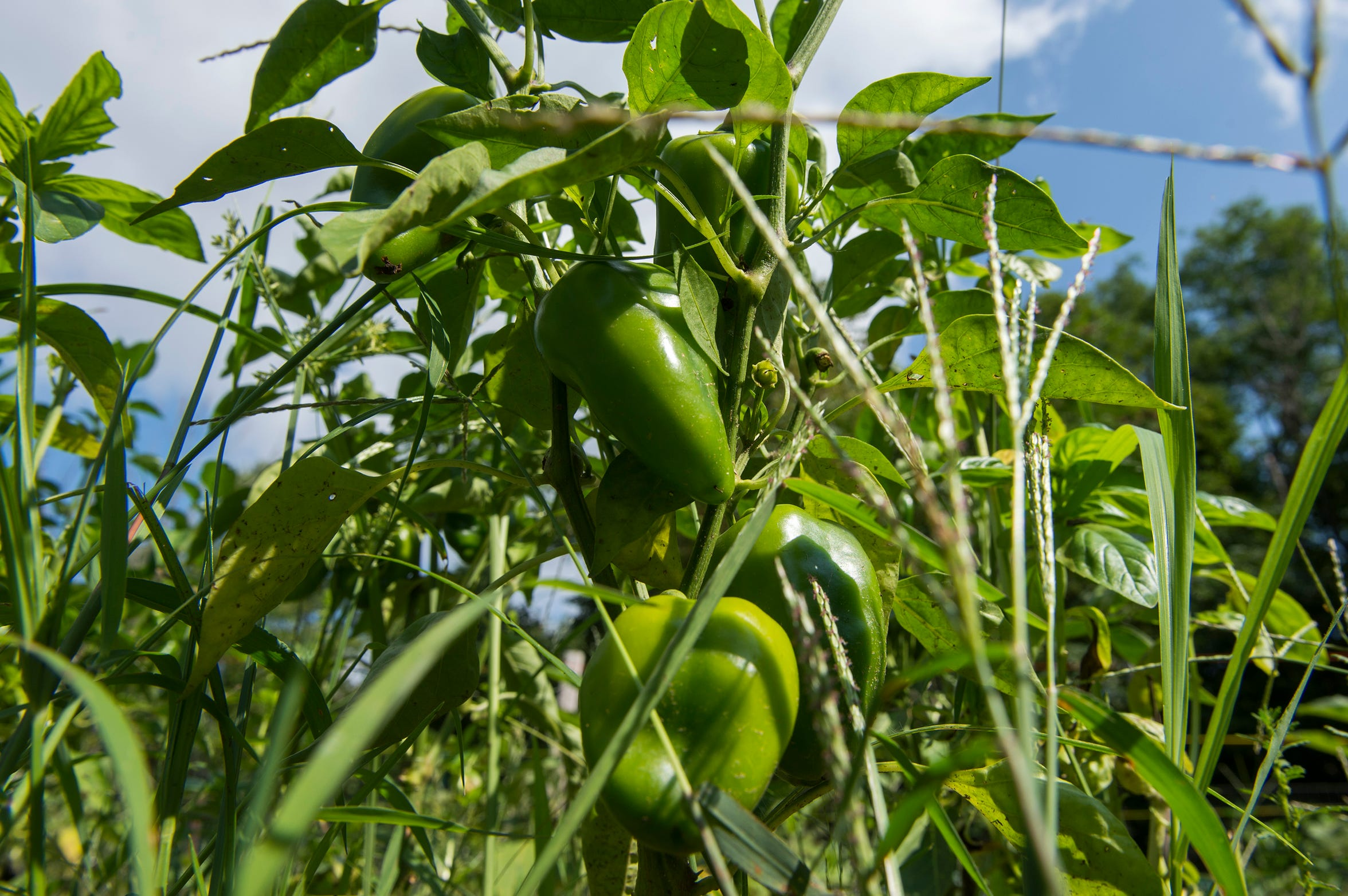 Peppers thrive in the sun at Free Haven Farms in Lawnside.