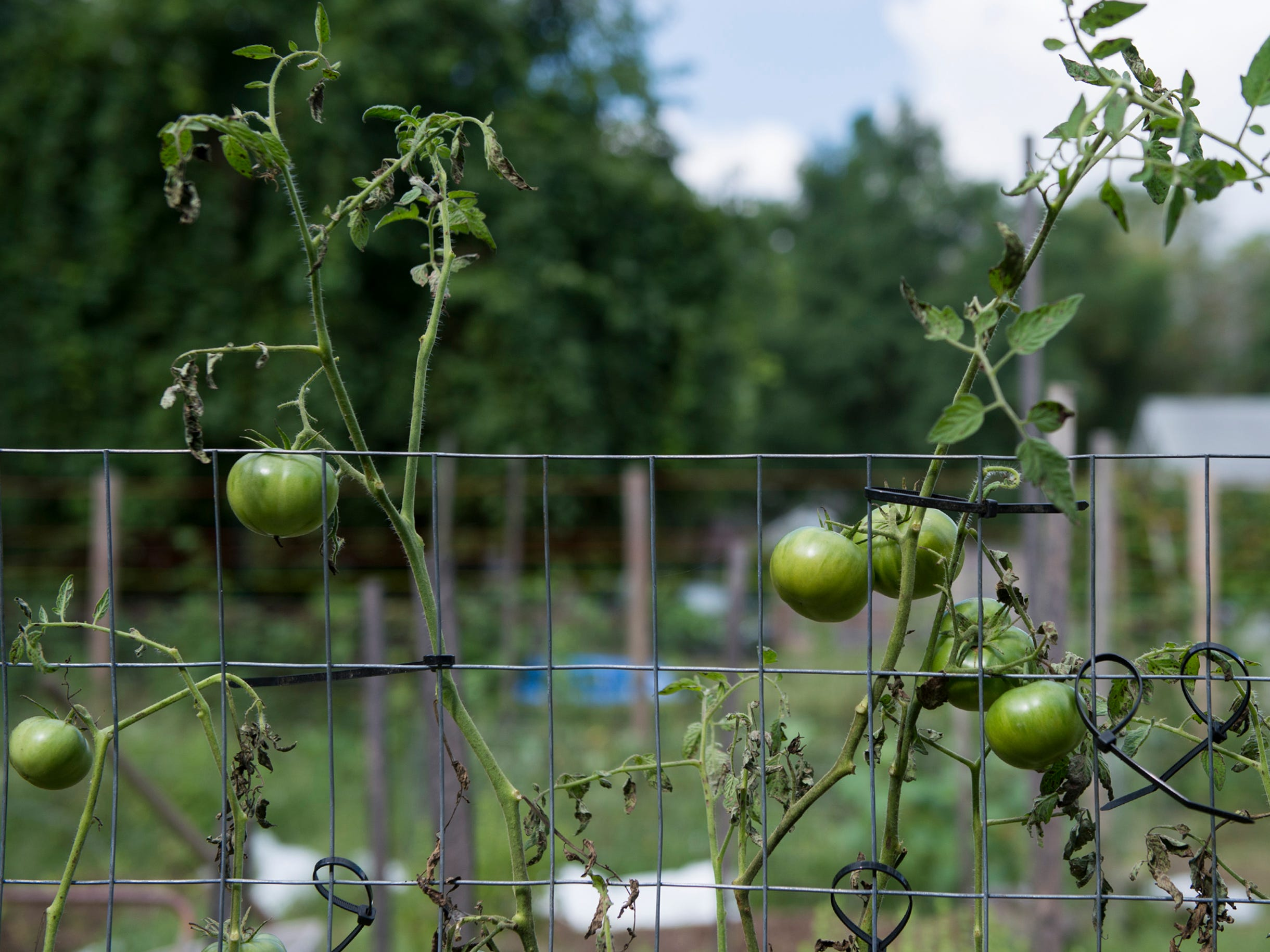 Tomatoes grow at Free Haven Farms Thursday, Aug. 23, 2018 in Lawnside, N.J.