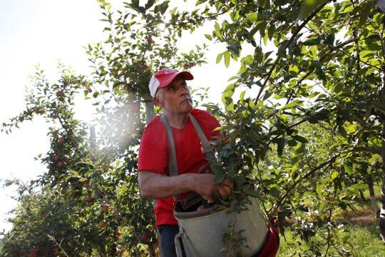 Jose Luis Zepeda picks apple at Blake's Orchard in Armada on Wednesday, September 5, 2018.