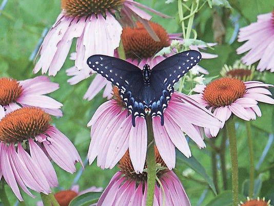 Garden0907coneflower