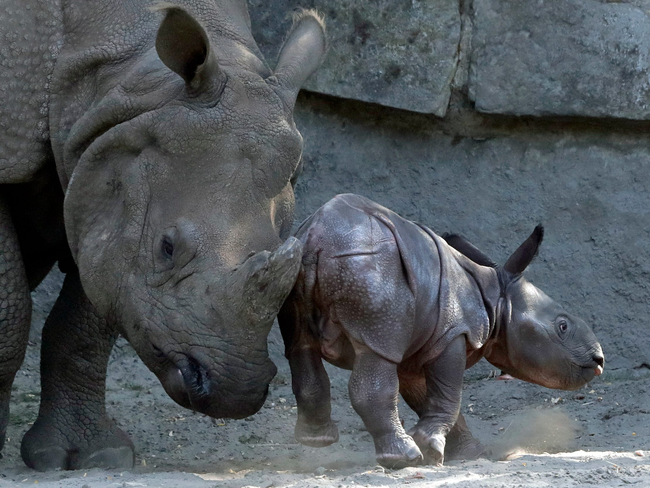 The great one-horned rhinoceros Betty, left, pushes her newborn son as they appear at their enclosure at the Zoo in Berlin, Germany, Thursday, Sept. 6, 2018. After a gestation period of 428 days the yet-nameless cub was born in the morning the previous day.