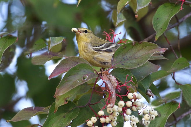 A winter-plumaged blackpoll warbler feeds on lipid-rich gray dogwood berries to fuel its fall migration back to South America