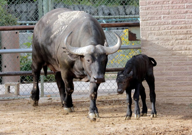 Poncho, a newborn Cape buffalo, is out and about in her herd's habitat at the Denver Zoo. Poncho was born at the zoo over Labor Day weekend, 2018.
