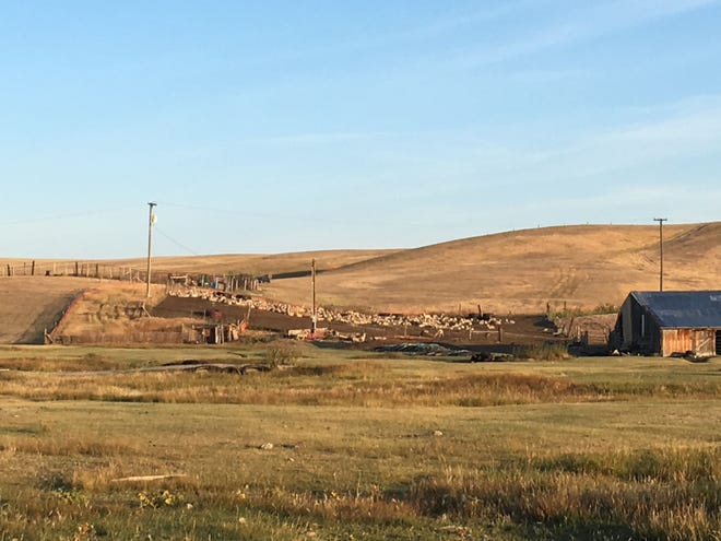 Lisa Schmidt's sheep lounge safely in their corral on a recent early fall morning. Now they are protected by dogs, woven wire and barbed wire fence and a new high-voltage electric fence at night. During the day, the dogs and sheep are on their own.