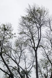 The extreme cold throttling Sioux Falls this week could kill a significant portion of the emerald ash borer larvae, according to the state forestry office.
