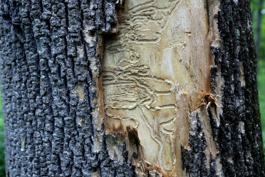 The borer larvae tunnel underneath the bark of ash trees, blocking the flow of sap to the top of the tree eventually causing the tree to die.