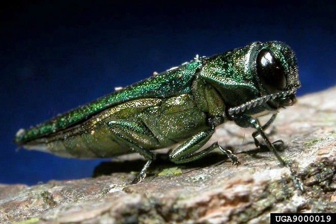 The Emerald Ash Borer was first sighted in Michigan in 2002. Since then it has worked its way across the Midwest wreaking havoc on ash trees.
