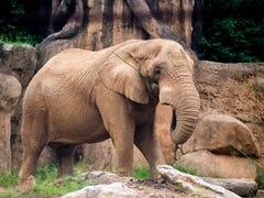 Why Zoo Knoxville introduced male African elephant Tonka to two female elephants