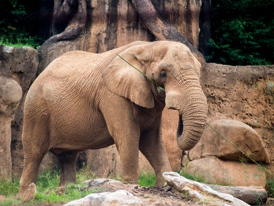 Tonka at Zoo Knoxville on Tuesday, August 21, 2018. The zoo recently introduced Tonka, a male African elephant, to the zoo's female African elephants Edie and Jana.