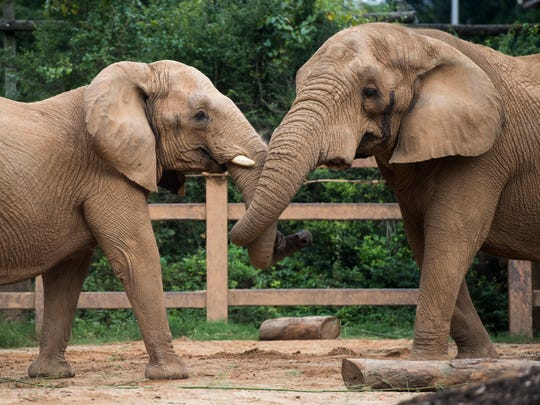 Edie, left, and Tonka, right, playfully spar with each other at Zoo Knoxville on Tuesday, August 21, 2018. The zoo recently introduced Tonka, a male African elephant, to the zoo's female elephants Edie and Jana.