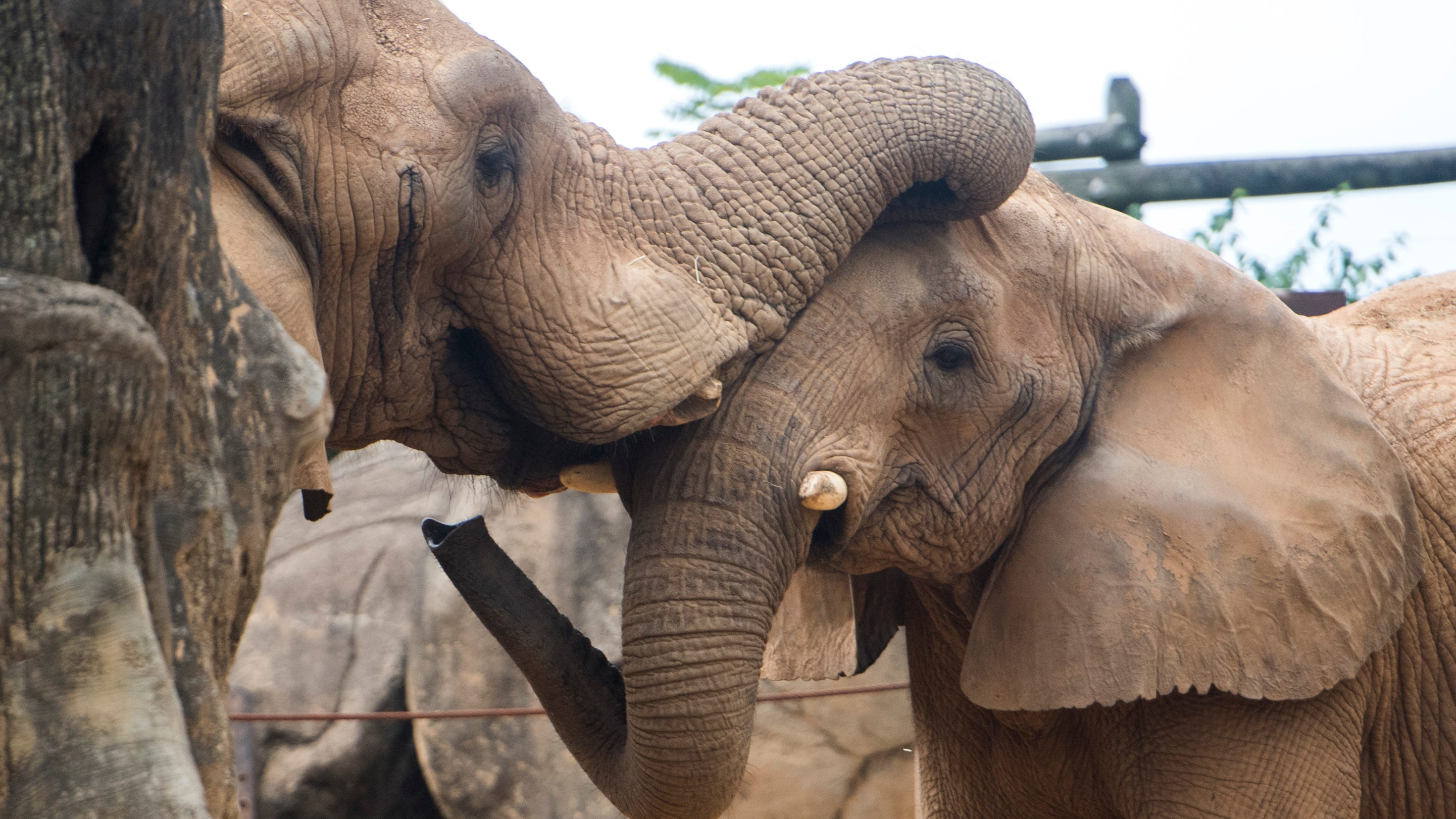 Zoo Knoxville elephant Tonka holds key to zoo's pachyderm future but can he produce?
