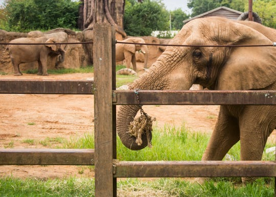 Tonka, right, at Zoo Knoxville on Tuesday, August 21, 2018. The zoo recently introduced Tonka, a male African elephant, to the zoo's female African elephants Jana and Edie, pictured in the background.