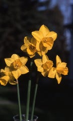 Daffodils add spring color not only in the garden, but also as a cut flower indoors as in this photo.