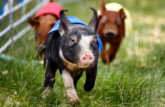 Swifty Swine will feature spry little pigs racing to the finish line for the ultimate treat— an Oreo cookie.