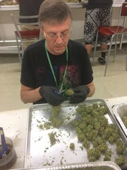 Steve Fromm's job all day is to trim stems and leaves from cannabis buds, making them look more attractive for sale at Colorado dispensaries.