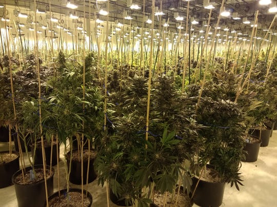 At any given time, there are 6,000 marijuana plants growing at Bloom County, a production facility in Pueblo, Colorado.
