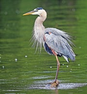A great blue heron strikes a pose at Reelfoot Lake.
