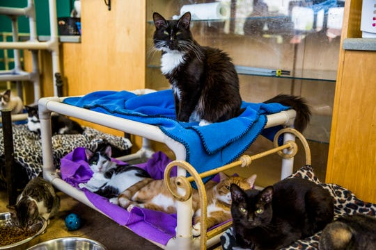 Mr. Darcy sits on a cat bed at the Naples Cat Alliance on Wednesday, Sept. 5, 2018. The cat has been at the shelter since Hurricane Irma hit last year.