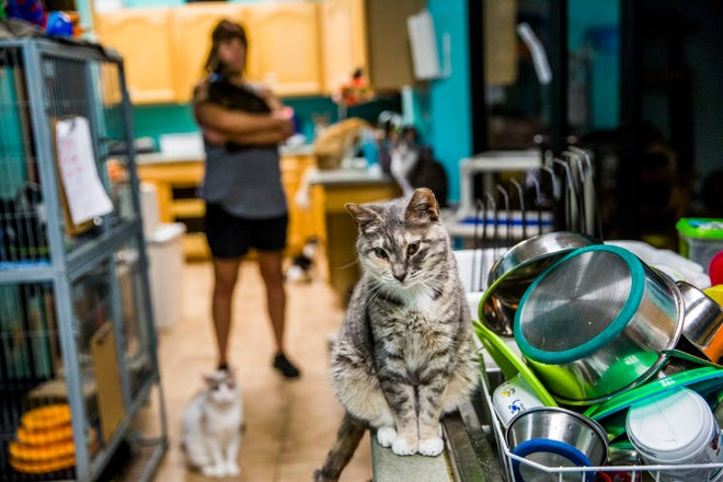 Rosa Bwar sits on the counter at the Naples Cat Alliance on Wednesday, Sept. 5, 2018. The cat has been at the shelter since Hurricane Irma hit last year.