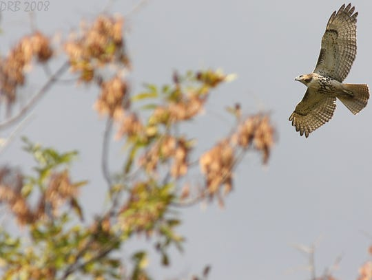 A red-tailed hawk in flight.