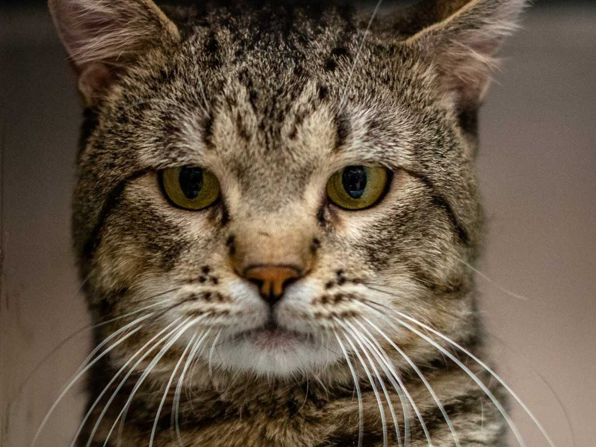 Hank - Male (neutered) domestic long hair, about 2 years old. Intake date:4/9/2018