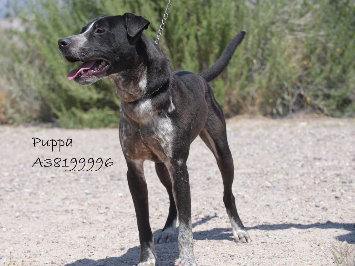 Puppa - Male (neutered) heeler mix, about 4 years old. Intake date:4/13/2018