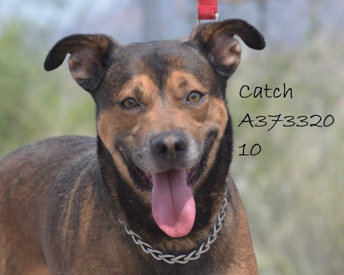 Catch - Male (neutered) shepherd mix, about 7 years old. Intake date:12/6/2017