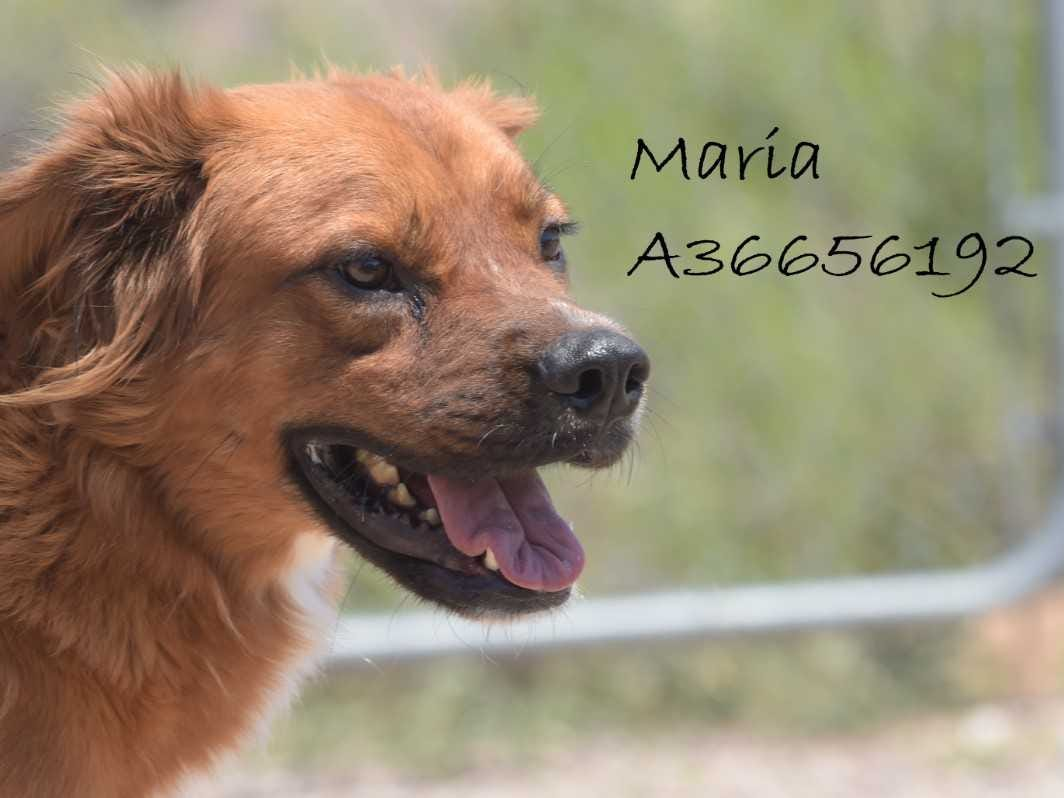 Maria - Female (spayed) shepherd mix, about 5 years old. Intake date:9/25/2017
