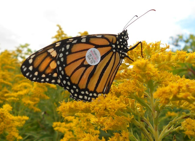 Join the Winnebago Audobon Society in tagging monarch butterflies Sept. 15.