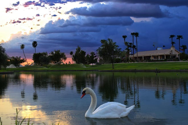 A swan residents have named Fred lives in the lake near the Sun City West golf courses.