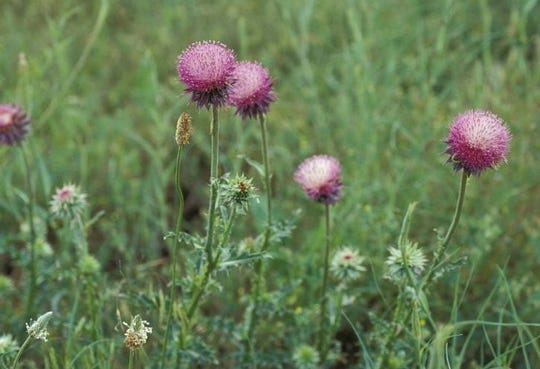 A musk thistle plant can disperse up to 20,000 seeds.